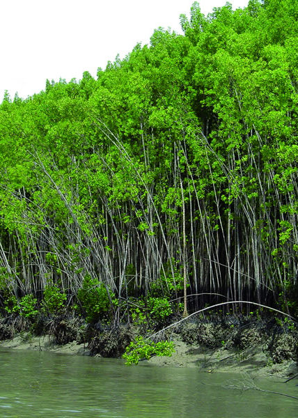 Line of mangroves overlooking water